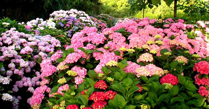 Hortensien Garten